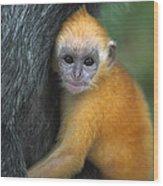 Silvered Leaf Monkey Trachypithecus Wood Print