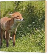 A British Red Fox Wood Print