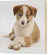 Border Collie Puppy Wood Print by Jane Burton