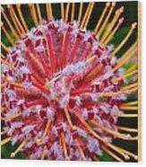 Common Pincushion Protea Wood Print