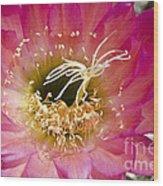 Dark Pink Cactus Flower Wood Print