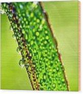 Dewdrops On Lemongrass Wood Print