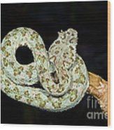 Eyelash Viper Wood Print by Dante Fenolio