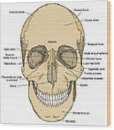 Illustration Of Anterior Skull Wood Print by Science Source