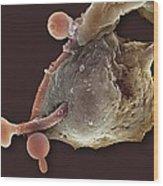 Neutrophil Engulfing Thrush Fungus, Sem Wood Print by