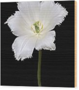 Tulip (tulipa Gesneriana) Wood Print