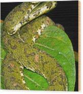 Eyelash Viper Wood Print by Dante Fenolio