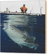 Whale Shark Feeding Under Fishing Wood Print