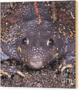 Mexican Burrowing Toad Wood Print