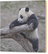 A Baby Panda Plays On A Branch Wood Print