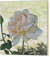 A Beautiful White And Light Pink Rose Along With A Bud Wood Print