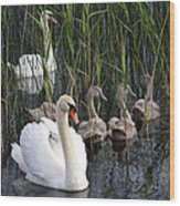 A Bevy  Of Swans. Wood Print