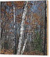 A Birch Radiating Its White Beauty In The Forest Wood Print