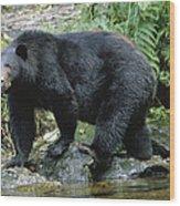 A Black Bear, Ursus Americanus, Walks Wood Print