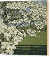A Blossoming Dogwood Tree In Virginia Wood Print