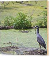 A Blue Bird In A Wetland -yellow-crowned Night Heron  Wood Print