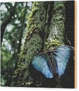 A Blue Morpho Butterfly Wood Print