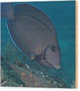 A Blue Tang Surgeonfish, Key Largo Wood Print