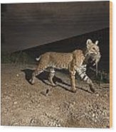 A Bobcat Crosses A Rio Grande Border Wood Print