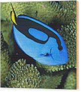 A Bright Blue Palette Surgeonfish Wood Print