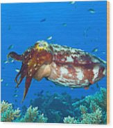 A Broadclub Cuttlefish, Kimbe Bay Wood Print