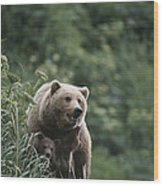 A Brown Bear Sow With Her Twin Cubs Wood Print by Tom Murphy