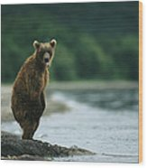 A Brown Bear Standing At Waters Edge Wood Print