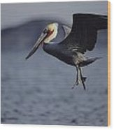 A Brown Pelican Prepares To Land Wood Print