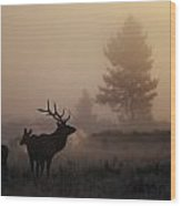 A Bull Elk Stands With Two Females Wood Print