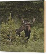 A Bull Moose Stops For A Photograph Wood Print by Raymond Gehman