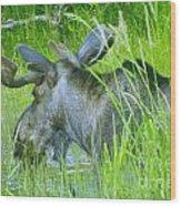 A Bull Moose Wading His Pond Wood Print