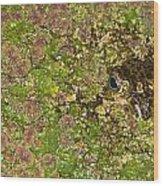 A Bullfrog Rana Catesbeiana Hiding Wood Print