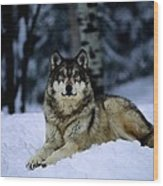 A Captive Grey Wolf, Canis Lupus Wood Print by Joel Sartore