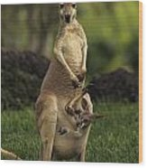 A Captive Red Kangaroo Macropus Rufus Wood Print