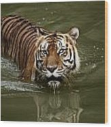 A Captive Sumatran Tiger Panthera Wood Print