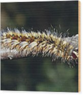 A Caterpillar In Defensive Posture Wood Print by Jason Edwards