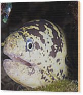 A Chain Moray Eel Peers Out Of Its Hole Wood Print