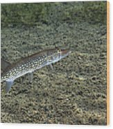 A Chain Pickerel Wimming The River Wood Print by Terry Moore