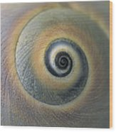 A Close View Of A Moon Snail Shell Wood Print