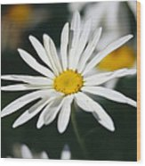 A Close View Of A Wild Daisy Wood Print