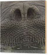 A Close View Of An Atlantic Walrus Wood Print by Ralph Lee Hopkins