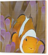 A Clown Anemonefish In A Purple Wood Print