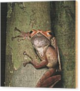 A Collets Tree Frog Rhacophorus Colleti Wood Print