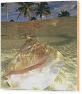 A Conch Shell Rests Beneath The Clear Wood Print