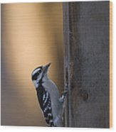 A Downy Woodpecker, Picoides Pubescens Wood Print