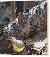 A Fallen Birch Still Claims Its Beauty Wood Print