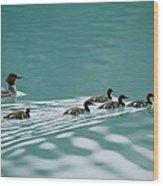 A Family Of Merganser Ducks Swim Wood Print