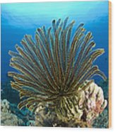 A Feather Star With Arms Extended Wood Print