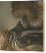 A Female Gelada, Theropithecus Gelada Wood Print