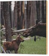 A Female Moose Nuzzles Her  Young Wood Print